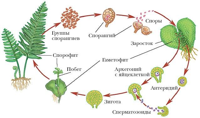 Процесс размножения папоротников