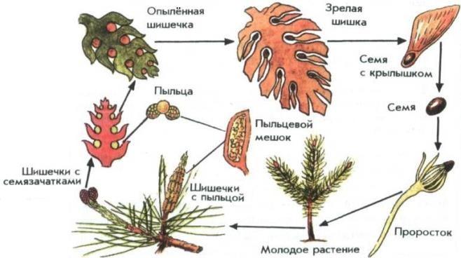 Размножение голосеменных растений