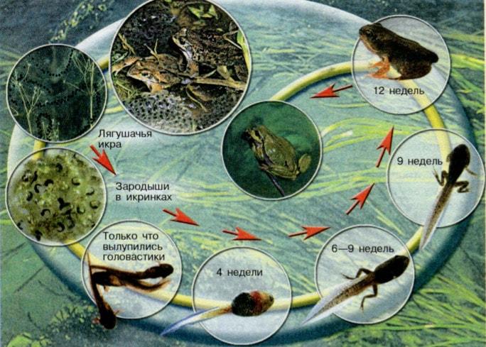 Развитие амфибий, на примере лягушки