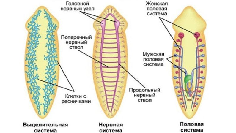 Системы органов ресничных червей