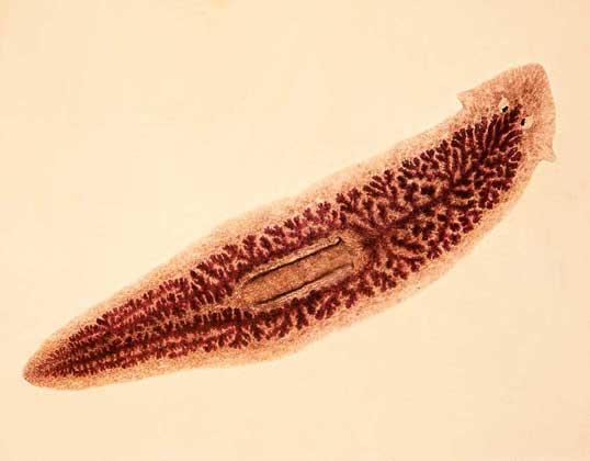 Класс Ресничные черви