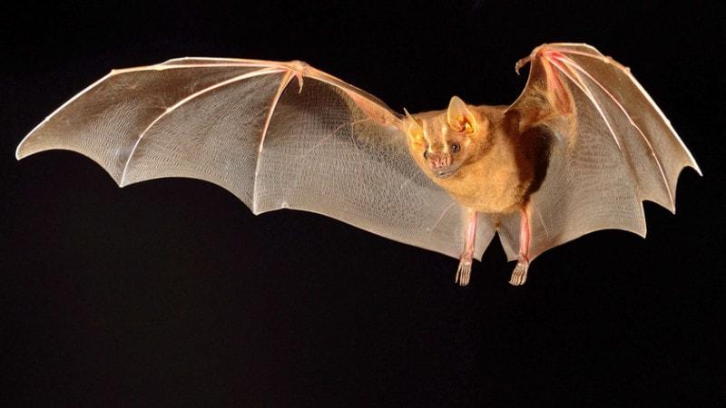 Отряд рукокрылые - летучие мыши
