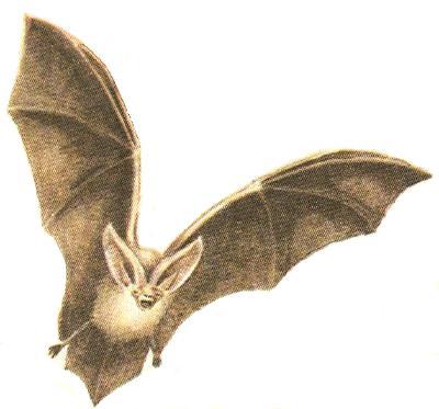 Отряд Рукокрылые (Летучие мыши)