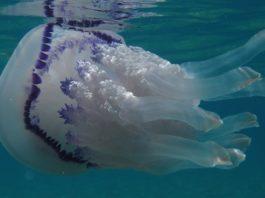 Класс Сцифоидные медузы