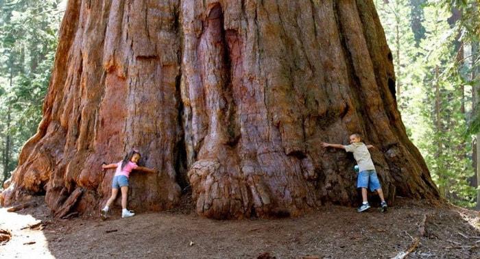 Мамонтово дерево - представитель хвойных растений