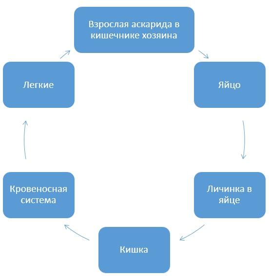Схема цикла развития аскариды человеческой