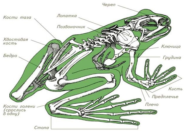 Скелет амфибий