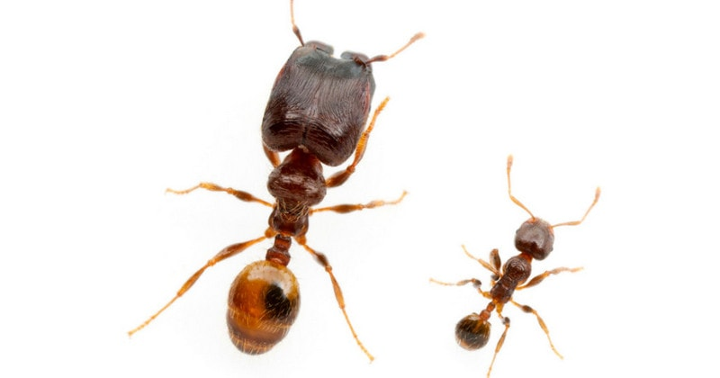 Сравнение солдата и рабочего муравья