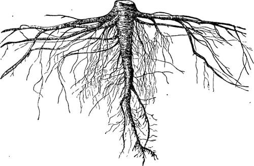 Корневая система хвойных растений