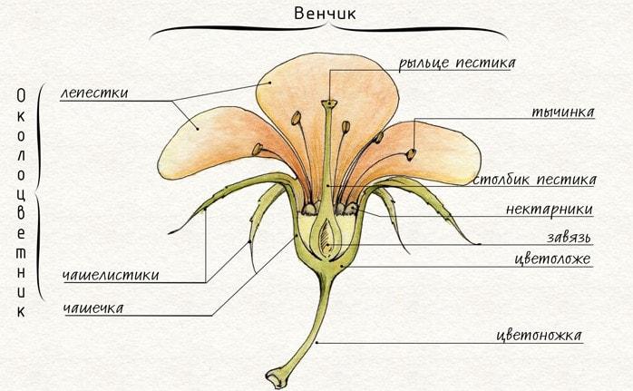 Строение цветка растения