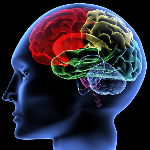 Строение и функции отделов головною мозга