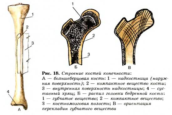Строение и состав костей человека