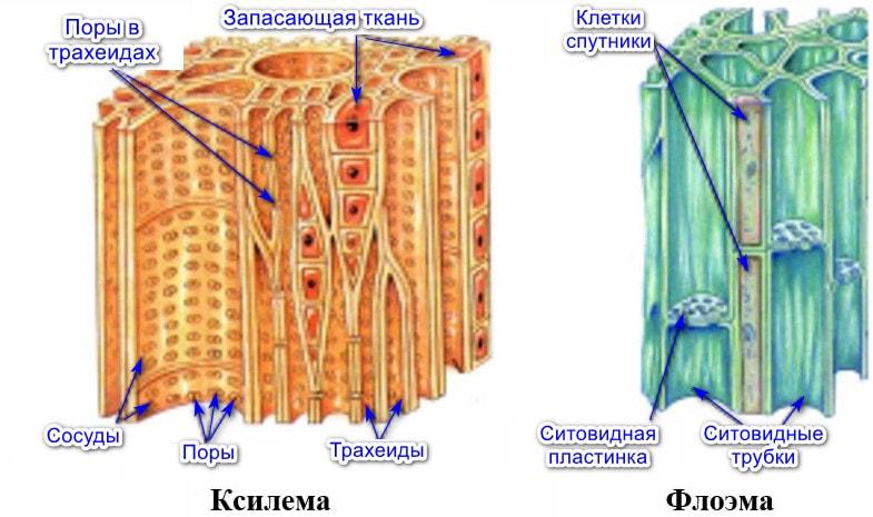 Строение проводящей ткани растений