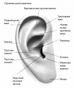 Строение и функции органа слуха человека