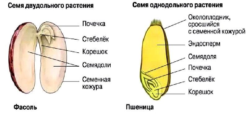 Строение семени растения