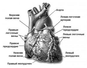 Сердце, его строение и работа