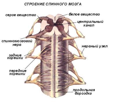 Строение и функции спинного мозга