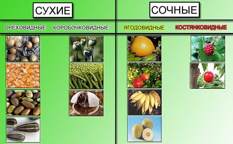 Различают сухи и сочные плоды