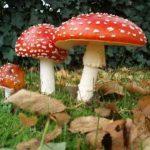 Группы ядовитых грибов