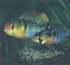 Забота о потомстве рыб