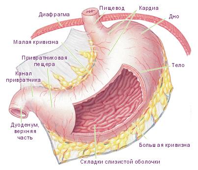 Пищевод, желудок и процесс пищеварения
