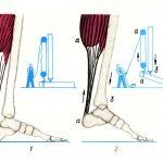 Значение физических упражнений для правильного формирования скелета и мышц.