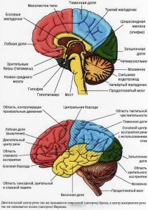 Значение коры большого мозга