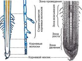 Рисунок: зоны корня растения