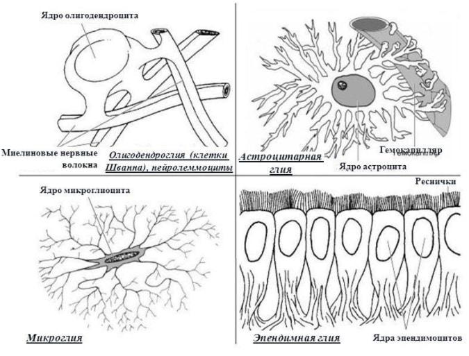 Клетки нейроглии