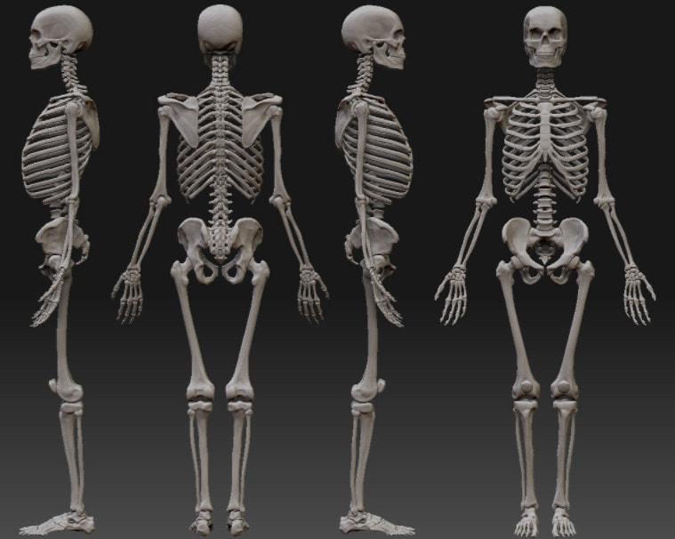 Внешний вид скелета человека
