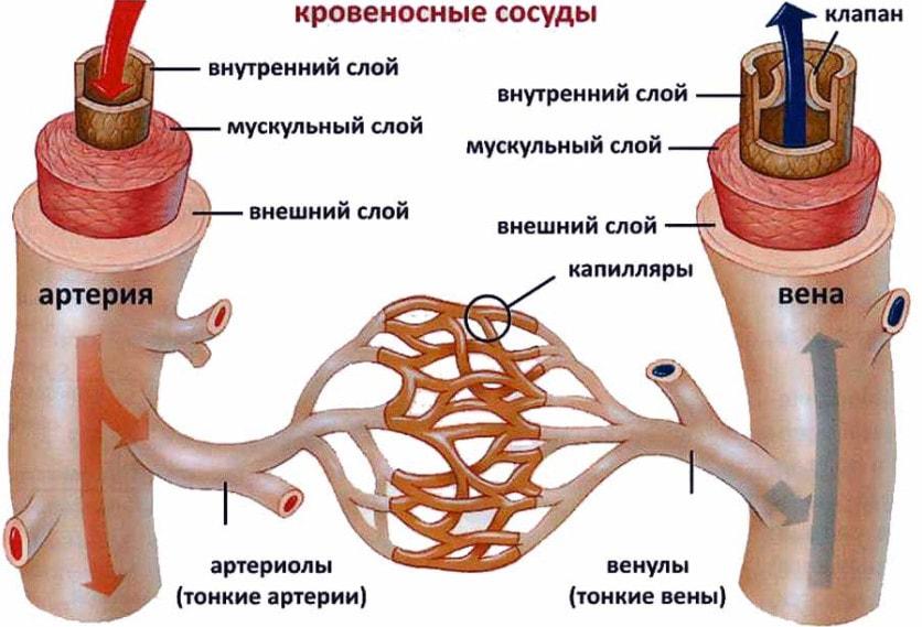 Строение кровеносных сосудов человека