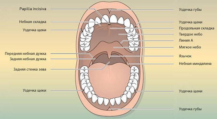 Строение полости рта
