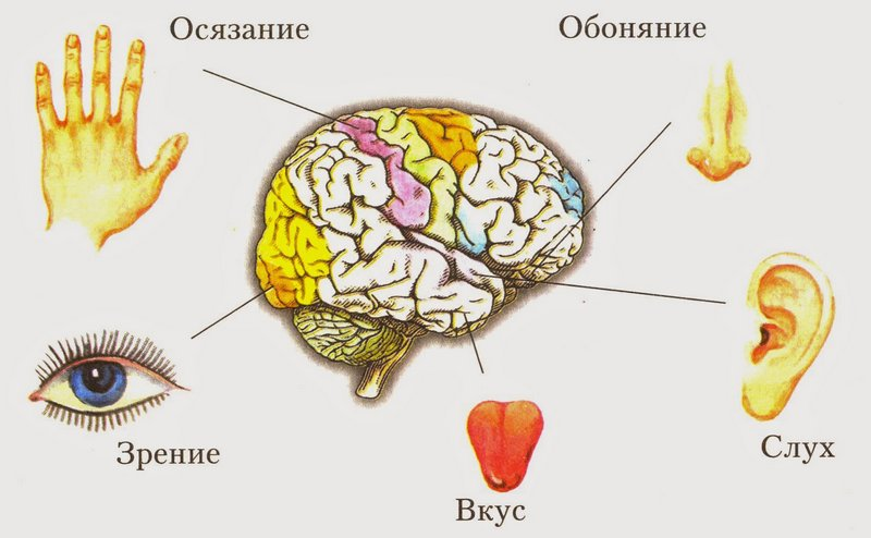 5 органов чувств у человека