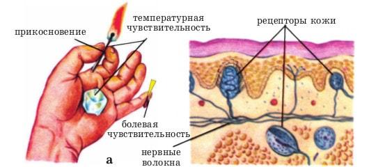 Органы осязания человека