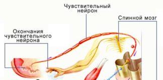 Рефлекторная дуга защитного рефлекса