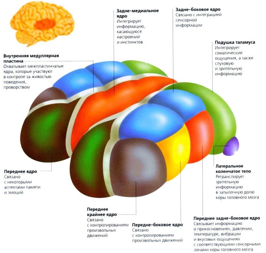 Строение и функции таламуса
