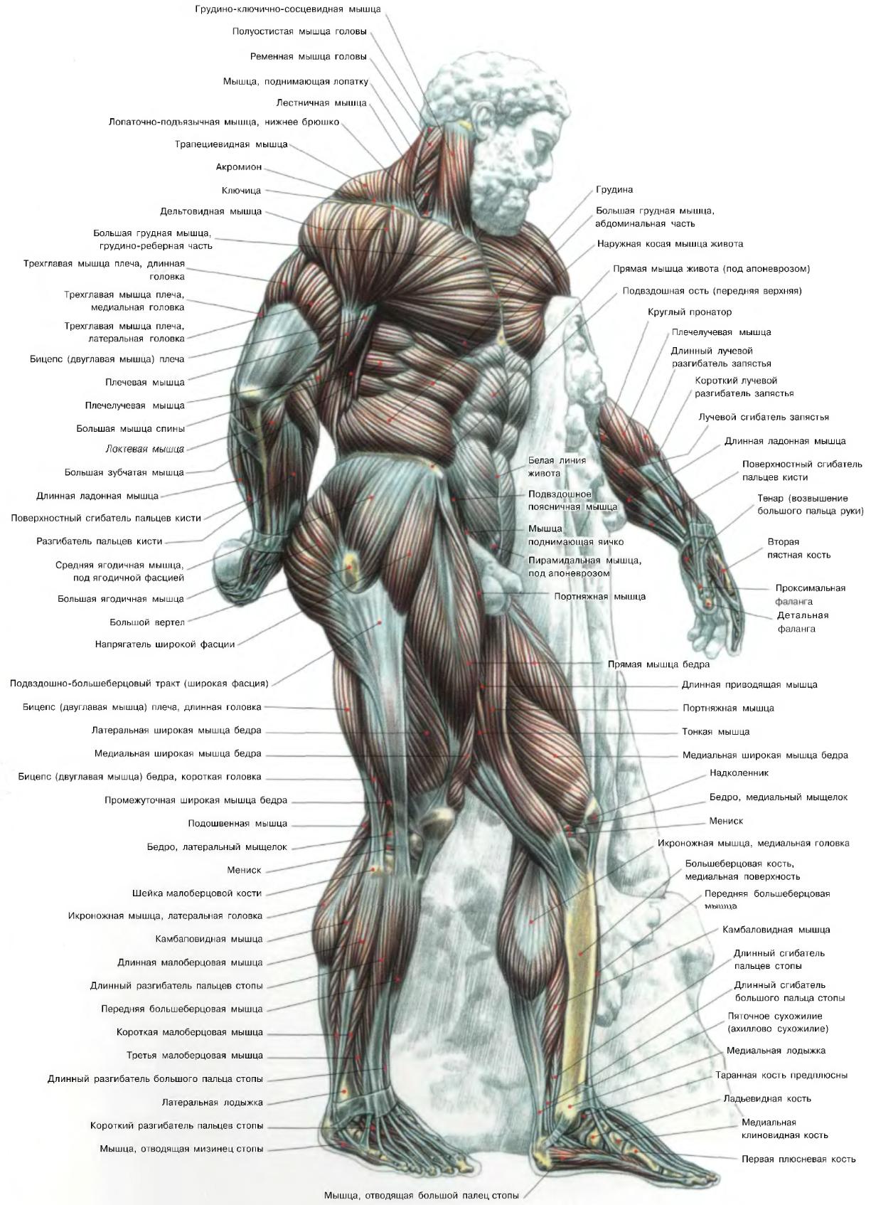 Мышцы человека перед