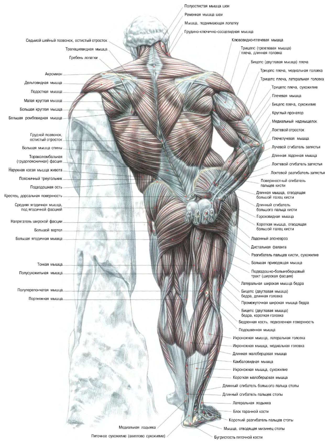Мышцы человека спина