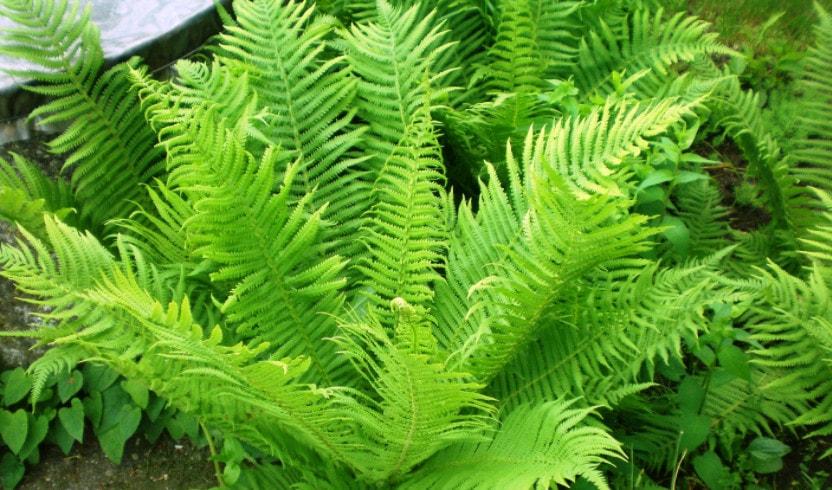 Папоротникообразные растения