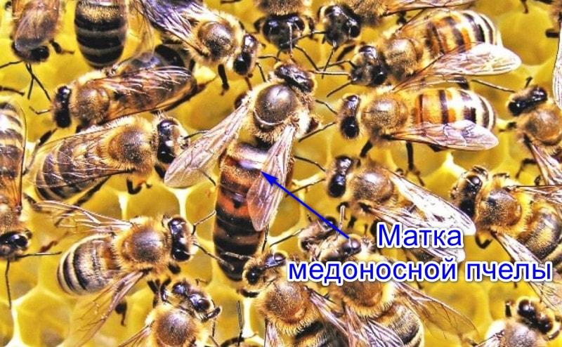 Матка медоносной пчелы