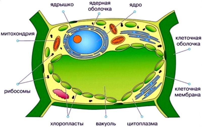 Органеллы растительной клетки
