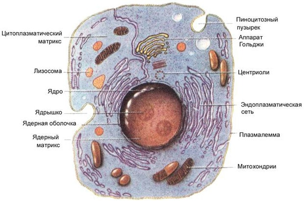 Сходства и различия в строении растительной и животной клетки  Вакуоль В Животной Клетке