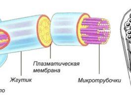 Строение жгутика