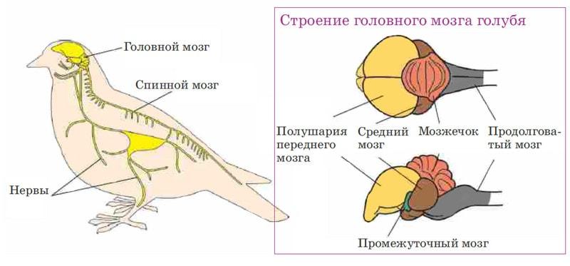Нервная система голубя