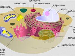 Строение и функции цитоплазмы