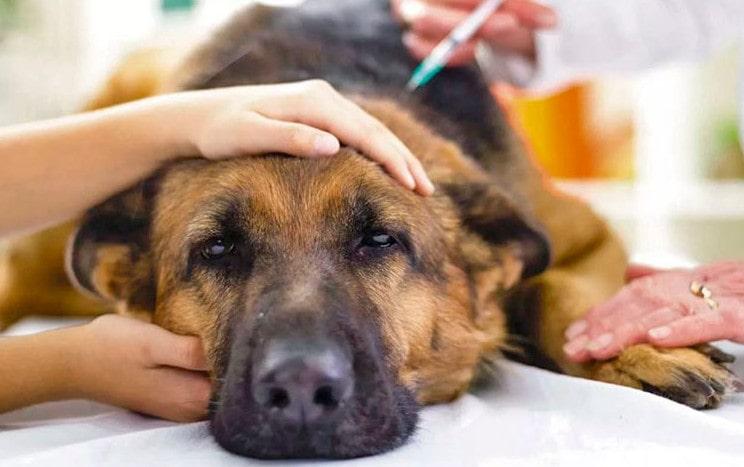 Боррелиоз (болезнь Лайма) у собак