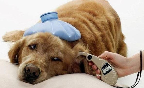 Гипогликемия у собак