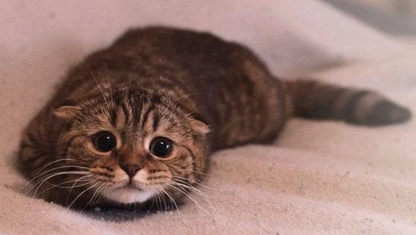 Причины опухолей молочной железы у кошки
