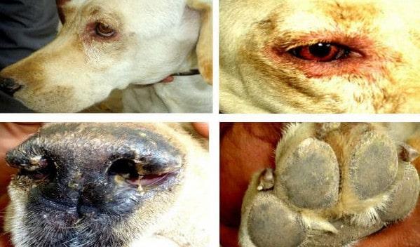 Фото симптомов чумки у собак